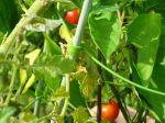 2016プチトマト